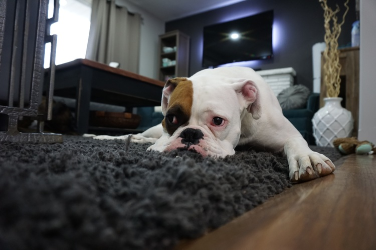How to Tell if your Dog is in Pain