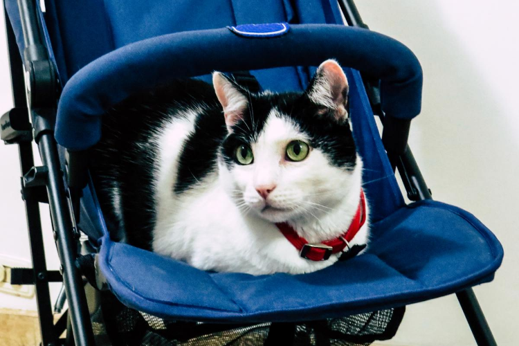 The Best Cat Strollers for 2020