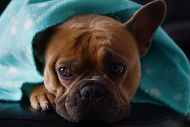 can dogs get the flu from humans?
