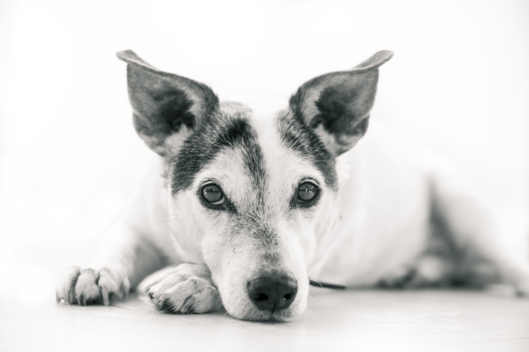 Natural Treatments for Cataracts in Dogs