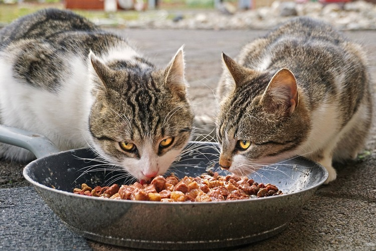 can cats eat dog food?